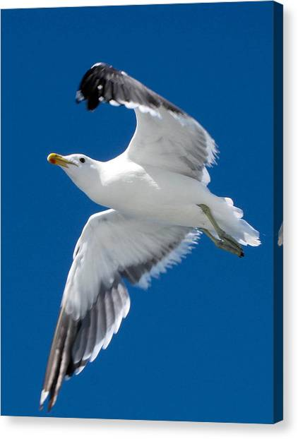 Gull In Flight Canvas Print by Karen E Phillips
