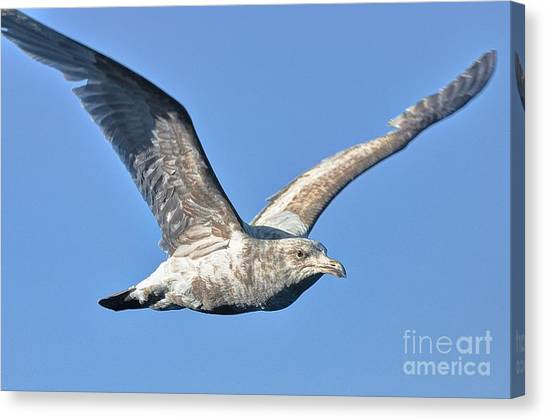 Gull Wings Canvas Print by Phillip Garcia