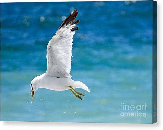 Herring Gull With Fish Canvas Print