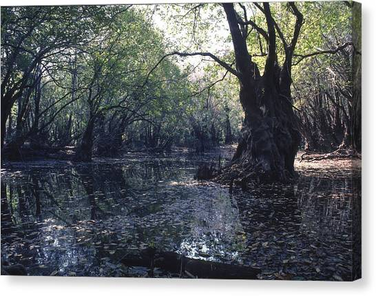 Gum Swamp Canvas Print