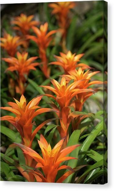 Bromeliad Canvas Print - Guzmania Sanguinea Flowers by Maria Mosolova