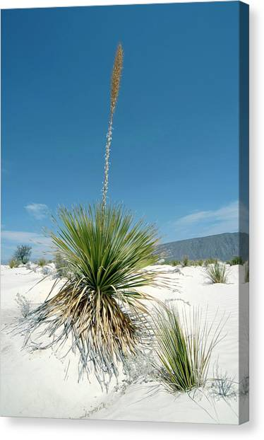 Gypsum Dunes Canvas Print by Daniel Sambraus/science Photo Library