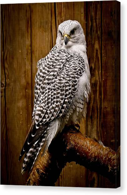 Gyrfalcon Perched Canvas Print