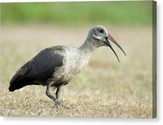 Ibis Canvas Print - Hadeda Ibis by Peter Chadwick/science Photo Library