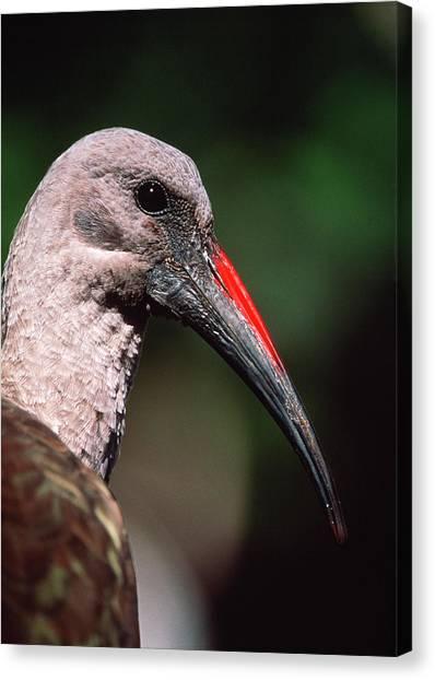 Ibis Canvas Print - Hadeda Ibis by Tony Camacho/science Photo Library