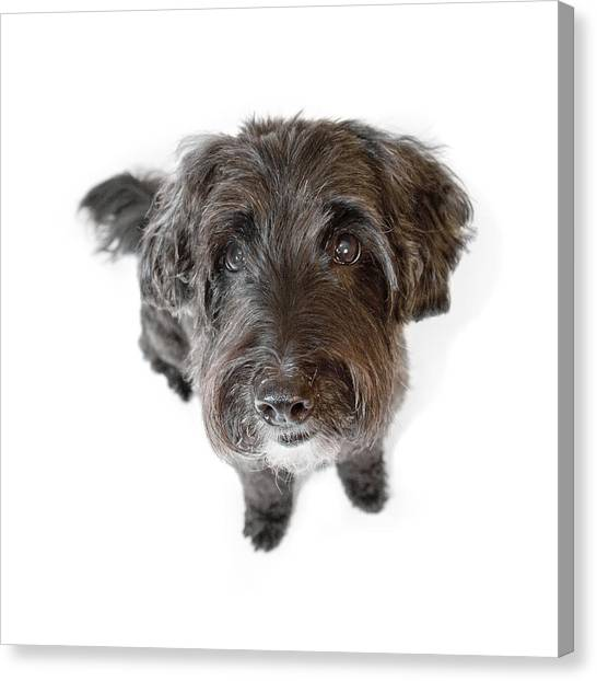 Hairy Dog Photographic Caricature Canvas Print by Natalie Kinnear