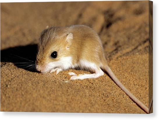 Hairy-footed Gerbil Canvas Print by Louise Murray/science Photo Library