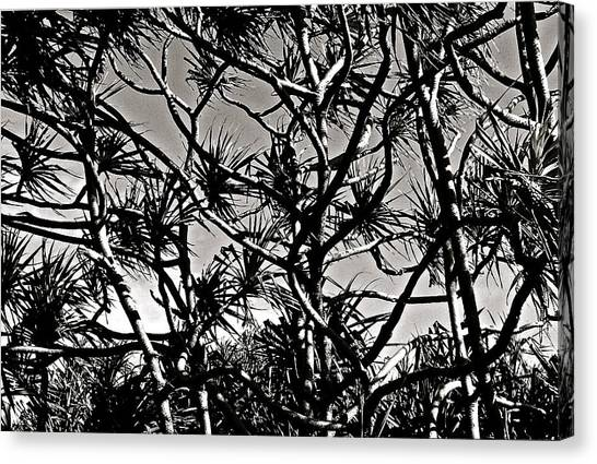 Hala Trees Canvas Print