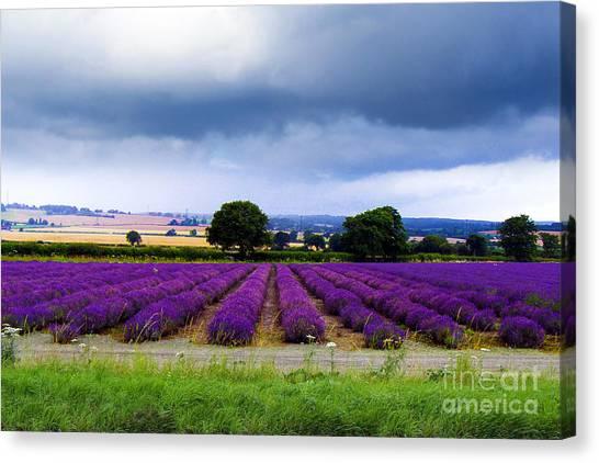 Hampshire Lavender Field Canvas Print