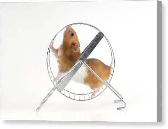 Syrian Canvas Print - Hamster by Bildagentur-online/o.diez/science Photo Library