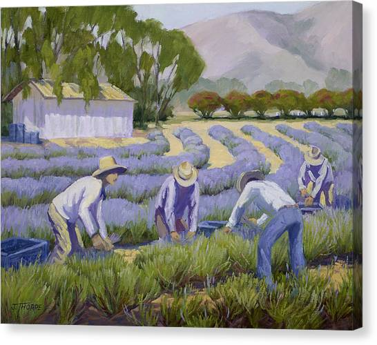 Hand-picked Lavender Canvas Print