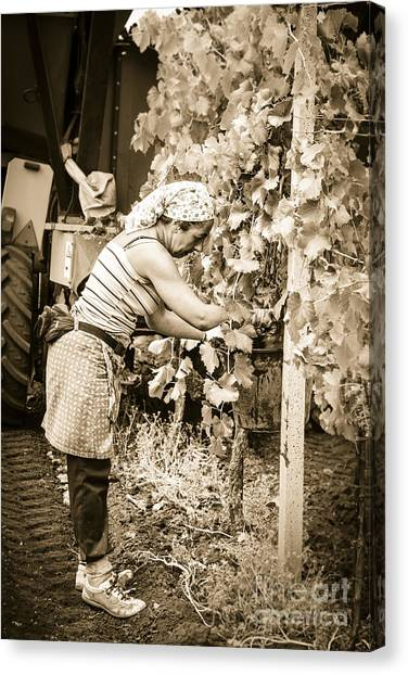 Hand Pickers Following The Mechanical Harvester Harvesting Wine  Canvas Print