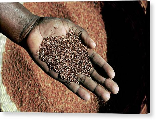 Handful Of Grain Canvas Print by Mauro Fermariello/science Photo Library