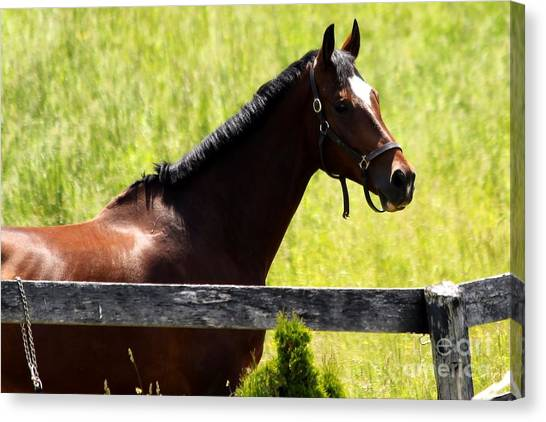 Handsom Horse Canvas Print