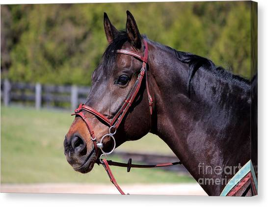 Handsome Gelding Canvas Print