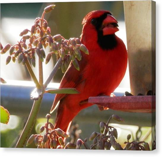 Handsome Red Male Cardinal Visiting Canvas Print