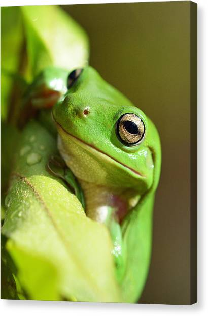 Hang In There Frog Canvas Print