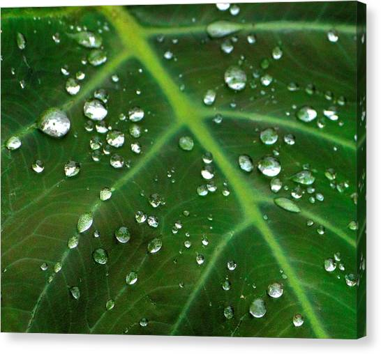 Hanging Droplets Canvas Print