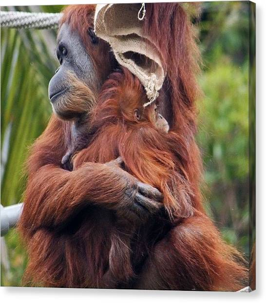 Orangutans Canvas Print - Hanging Out With The Baby #zoo #apes by Craig Price