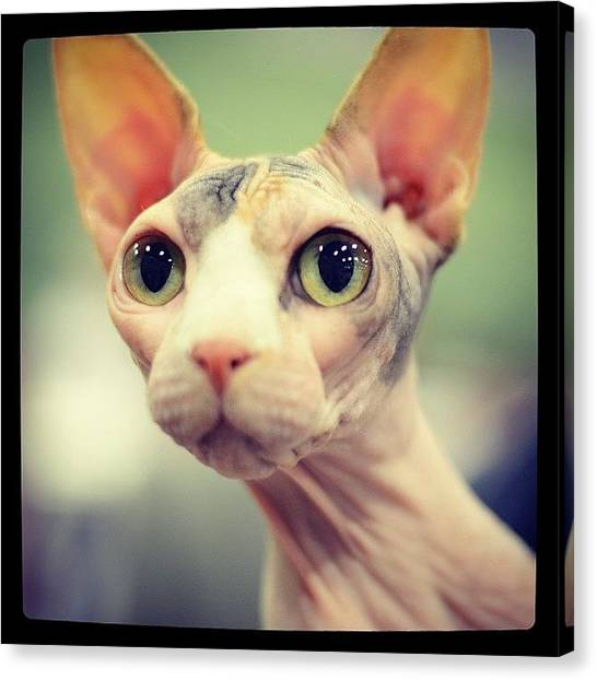 Sphynx Cats Canvas Print - Happy Days Meeting Another Sphynx Cat by Samantha Charity Hall
