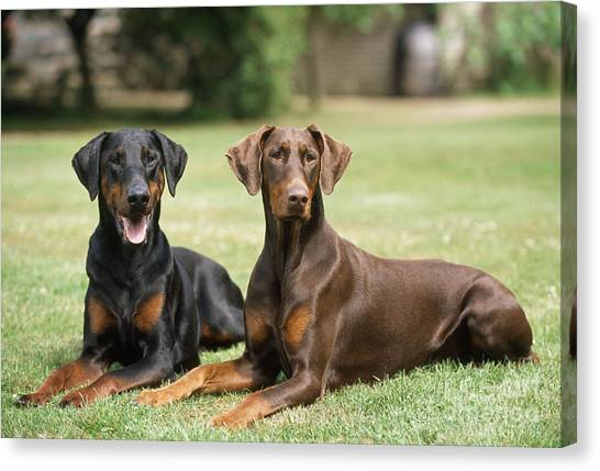 Doberman Pinschers Canvas Print - Happy Dobermans by John Daniels