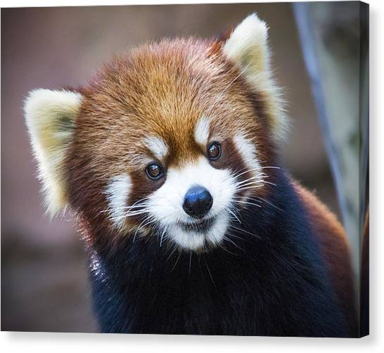 Happy Red Panda Canvas Print