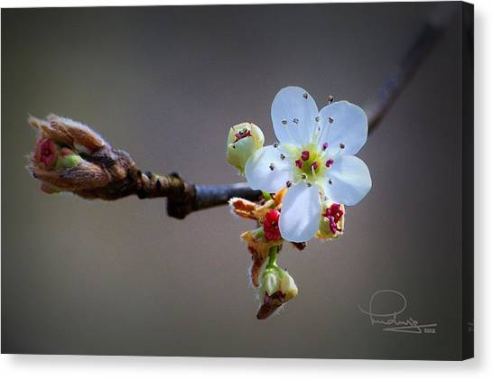 Harbinger Of Spring Canvas Print
