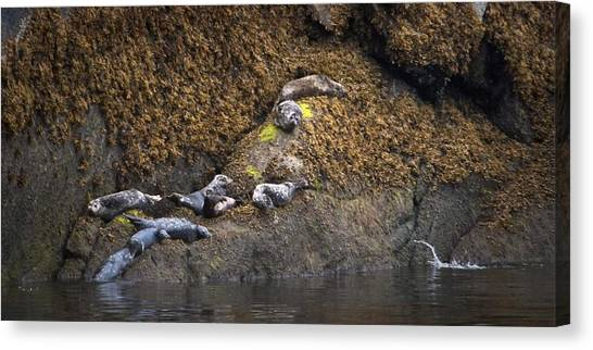 Harbor Seals Canvas Print