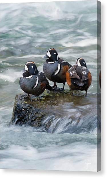 Drake Canvas Print - Harlequin Drakes Resting In Fresh Water by Ken Archer