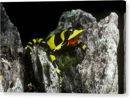 Monteverde Canvas Print - Harlequin Frog by Gregory G. Dimijian, M.D.