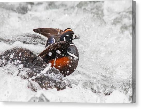 Harlequin In The Rapids Canvas Print by Jill Bell