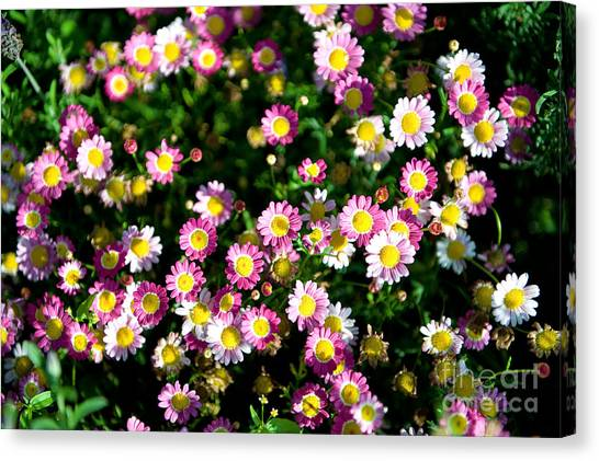 Canvas Print featuring the photograph Harmony by Yew Kwang