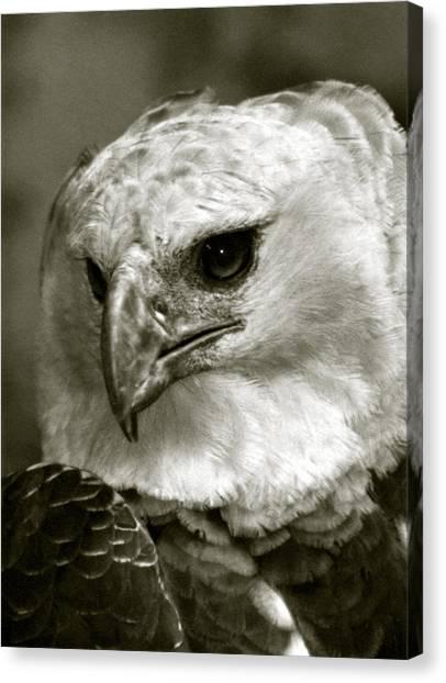 Harpy Eagle Canvas Print - Harpy Eagle by Amarildo Correa