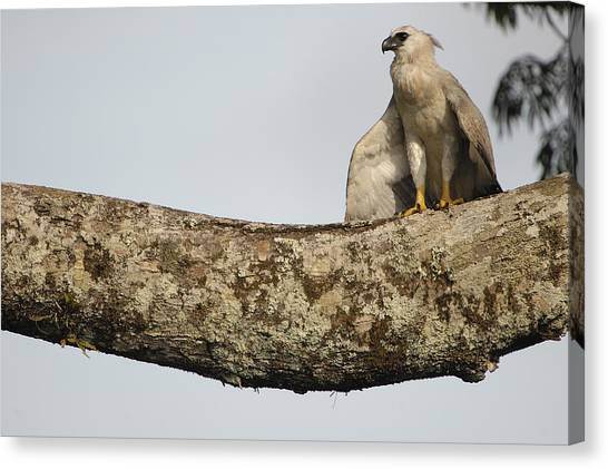 Harpy Eagle Canvas Print - Harpy Eagle Chick In Kapok Tree by Pete Oxford