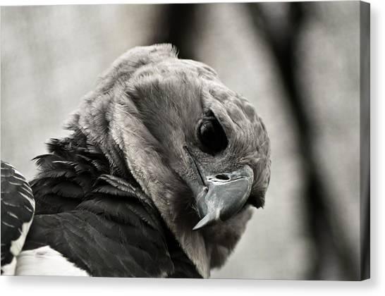 Harpy Eagle Canvas Print - Harpy Eagle Closeup by Jess Kraft