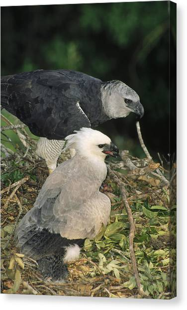 Harpy Eagle Canvas Print - Harpy Eagle Female And Chick Amazonian by Tui De Roy