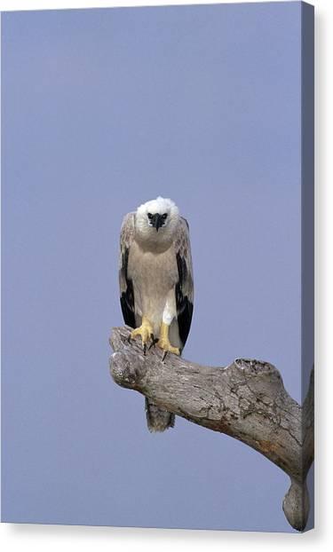 Harpy Eagle Canvas Print - Harpy Eagle Juvenile Silk-cotton Tree by Tui De Roy