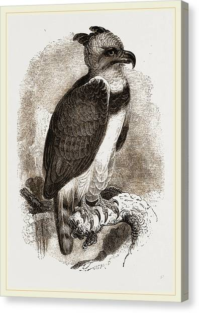 Harpy Eagle Canvas Print - Harpy Eagle by Litz Collection