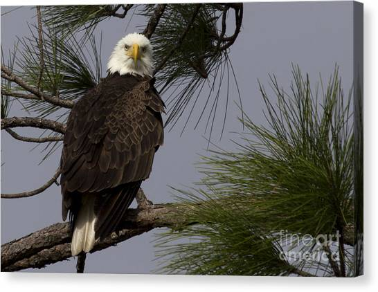 Harriet The Bald Eagle Canvas Print