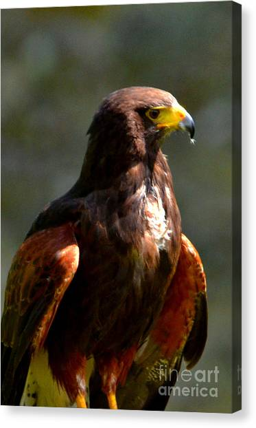 Harris Hawk In Thought Canvas Print