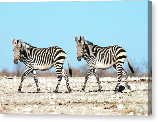 Zebras Canvas Print - Hartmann's Mountain Zebra by Tony Camacho