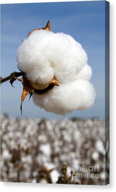 Harvest Ready Cotton Boll Canvas Print