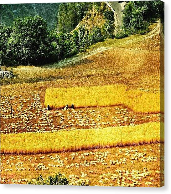 Harvest Canvas Print - Harvesting by Rishi Sood
