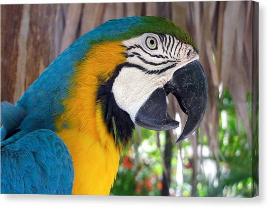 Harvey The Parrot 2 Canvas Print