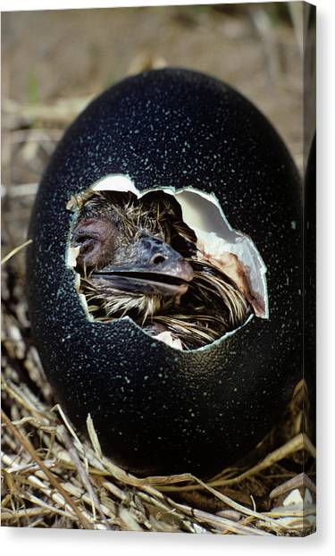 Emu Canvas Print - Hatching Emu Chick by Animal Images