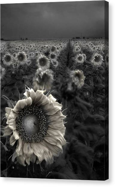 Nature Canvas Print - Haunting Sunflower Fields 1 by Dave Dilli