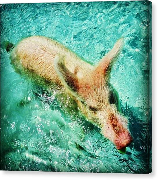 Bahamas Canvas Print - Have You Ever Seen A Swimming Pig? by Dave And Deb