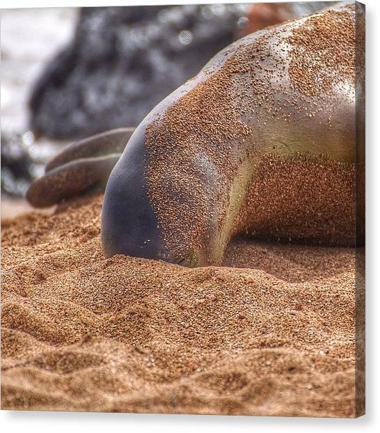 Hawaii Canvas Print - Hawaiian Monk Seal Hide And Seek! by Brian Governale