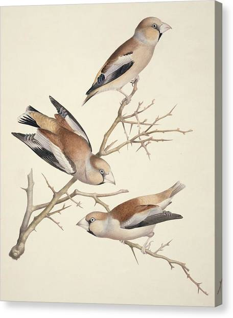 Hawfinches, 19th Century Artwork Canvas Print by Science Photo Library