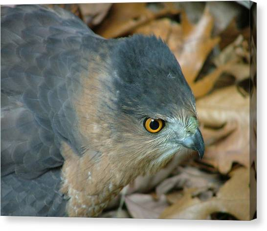 Hawk Eyes Up Close Canvas Print